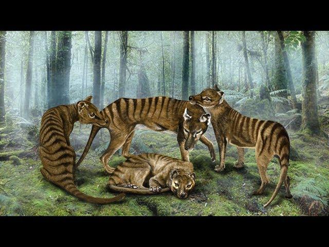 Living Thylacines Part 2