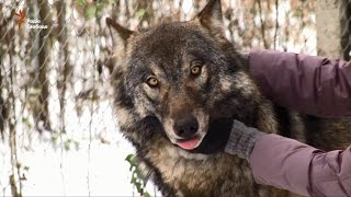 Довіра. Білоруська активістка доглядає за осиротілими вовками