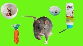 Что необходимо для клетки где живет крыса