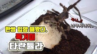 형 진짜 놀랐다..독니가 엄청커..타란튤라 집 꾸며주었다.[정브르]/ tarantula rehosing!