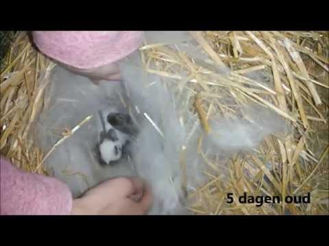 Eerste paar dagen van de kleine konijntjes :)