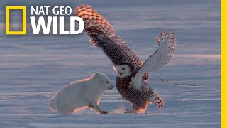 "Why Is This Arctic Fox 'Dancing"" With a Snowy Owl? 