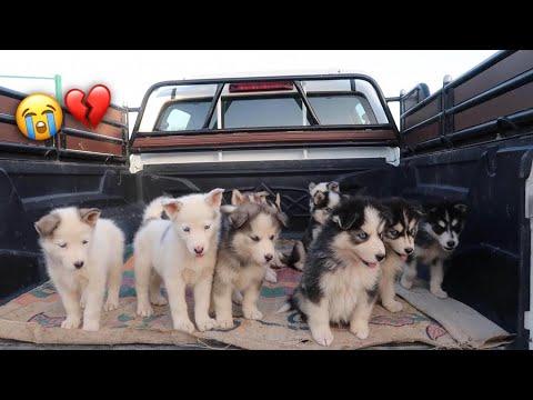 تورطنا بـ 11 كلب هاسكي صغار بعد موت امهم قدامهم !!