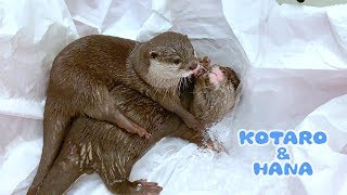 Otter Kotaro&Hana Wrestling in the Pool
