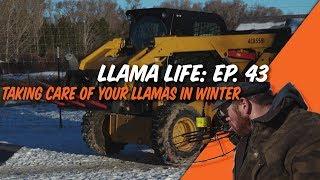 Taking Care of your Llamas in Winter - Ep.43 - Llama Life