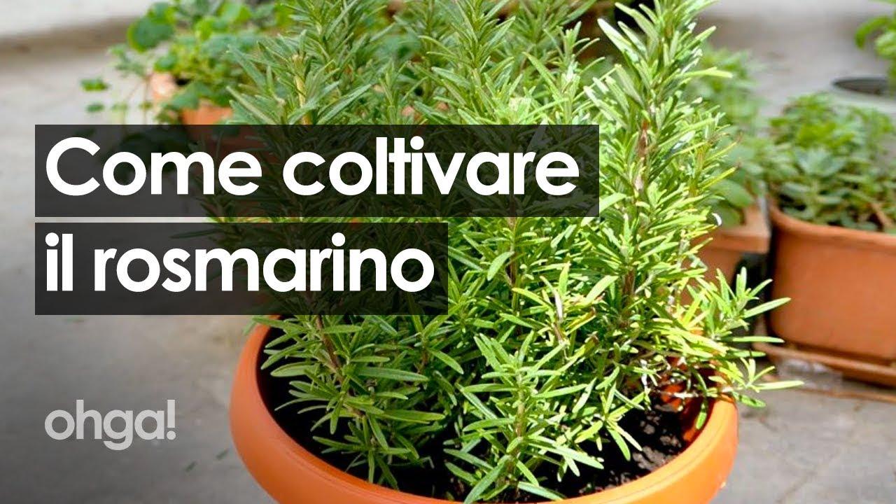 Coltivare In Casa Piante Aromatiche rosmarino: tutti i segreti per coltivarlo rigoglioso in casa!