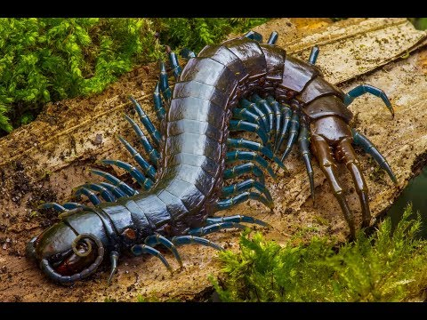 Deadly fight: Snake VS Huge Centipede (HD)