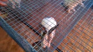 Rabbit Farming in India, Aligarh, Uttar Pradesh