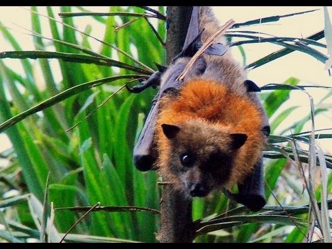Australian Flying Fox Hands Australian Flyi...