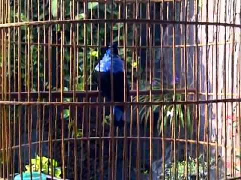 cucak-biru (asian fairy bluebird).3GP Mp3