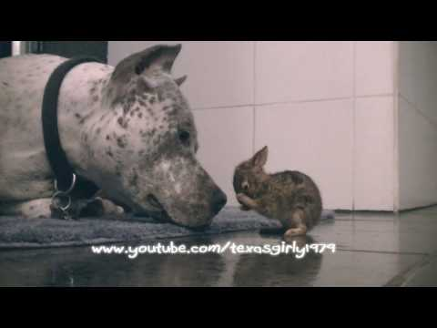 Gentle Pit Bull Cleans Baby Bunny
