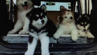 alaskan malamute puppies cover harry potter puppet pals mysterious ticking noise