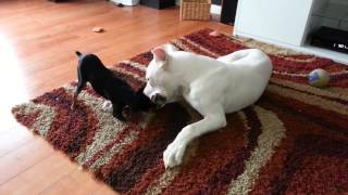 Argentino Dogo Playing Tug A War With A Min Pin.