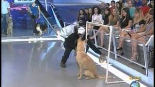 Cão Da Raça Golden Retriever, Canil Golden Trip, Treinado, Por Adestrador Glauco Lima