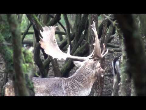 Vocal Fallow deer