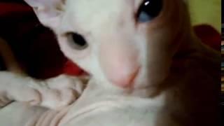 Банзай, ещё раз банзай!!! - разноглазый котёнок сфинкса.