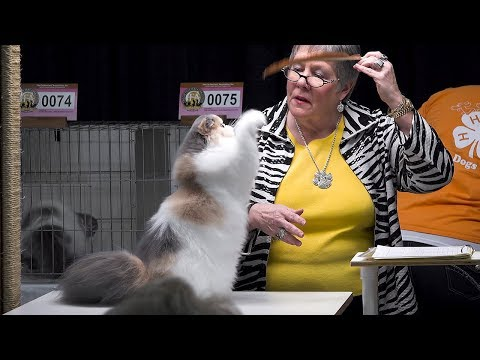 CFA International Cat Show 2017 - Calico Persian kittens