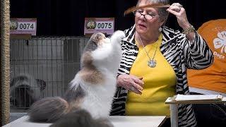 CFA International Cat Show 2017 - Calico Persian kittens