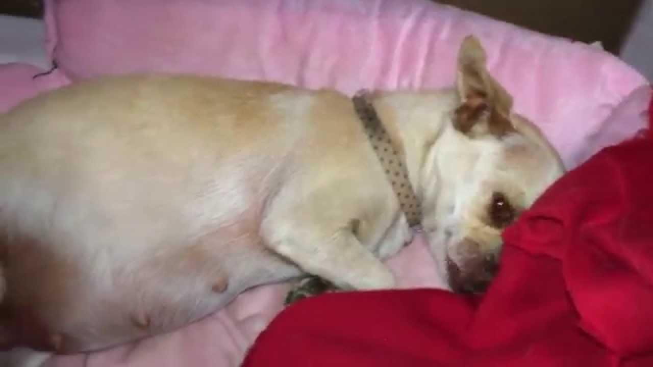 Chihuahua Dog Pregnant 6 Weeks Youtube