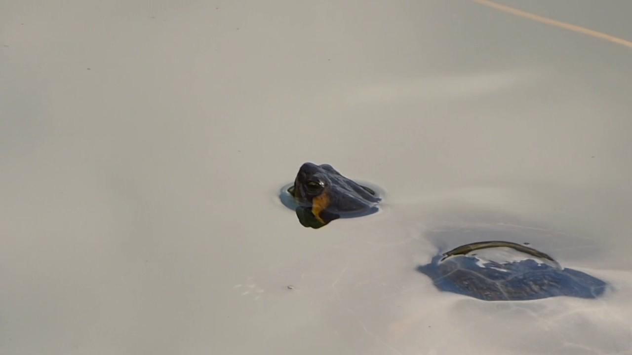 Tartarughe trachemys lago di canzolino tn 2 aprile for Lago per tartarughe