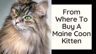 From Where To Buy A Maine Coon Kitten