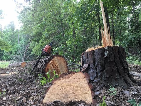 Felling and milling a pine tree