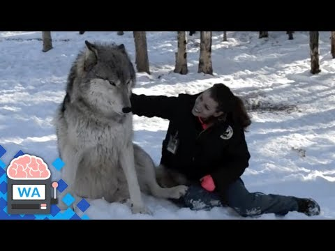 Wolf approaches woman in the woods and sits next to her, but look, next happens