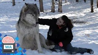 Wolf nähert sich Frau und setzt sich zu ihr, aber schau, was als nächstes passiert