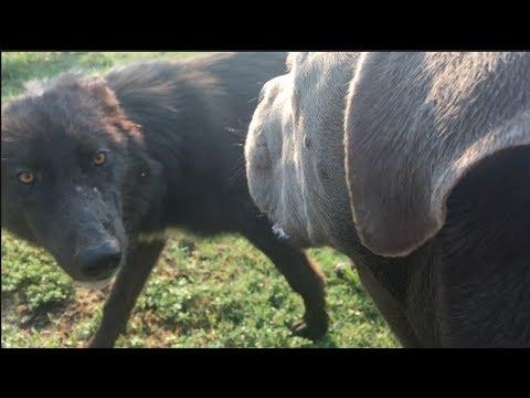 Wolfdogs Meet Cane Corso/Pit & Husky