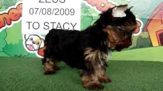 Zeus - Yorkshire Terrier For Sale / Www.bullcanes.net / Ceo@bullcanes.net