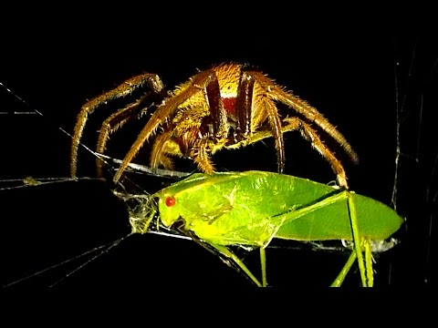 Killer Spider Vs Nasty Green Grasshopper (Warning Scary Graphic Video)