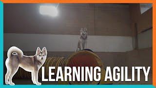 alaskan klee kai attempts dog agility