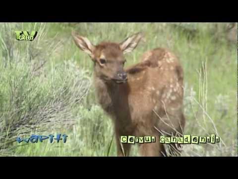 Wapiti & calves in Yellowstone National Park  - elk - cervus canadensis #04