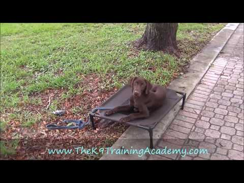Chocolate Lab with Basic Obedience! The K9 Training Academy