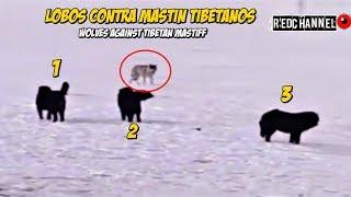 7 Lobos contra 3 Mastín Tibetanos   7 Wolves against 3 Tibetan Mastiffs