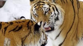 円山動物園のアムールトラ、リング(オス/7歳)とアイ(メス/8歳)。 ブリー...