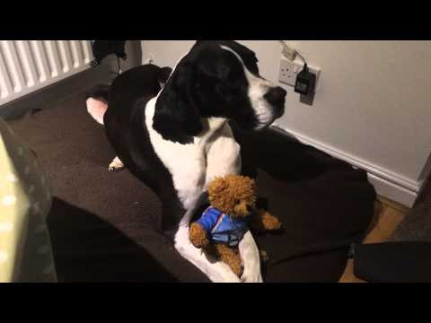 Great Dane talking, great dane protecting the teddy, dog talking, dog speaking