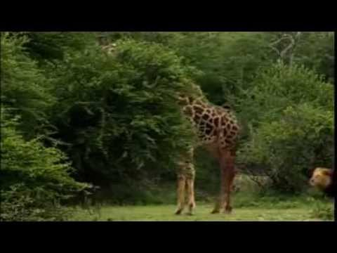 Lion Pride Vs Giraffe 2014 thumbnail