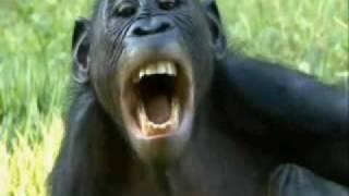 Bonobos Make Love Not War