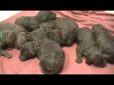 akc-brown-standard-poodle-puppies