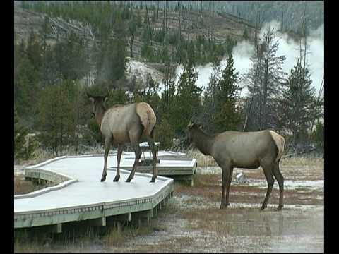 Elk panics on  boardwalk near 'Old Faithful' Geyser Yellowstone