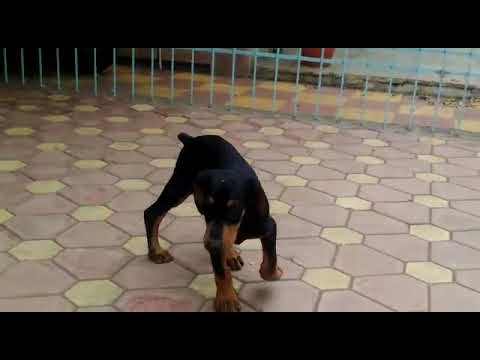 Doberman puppies for sale in Pune