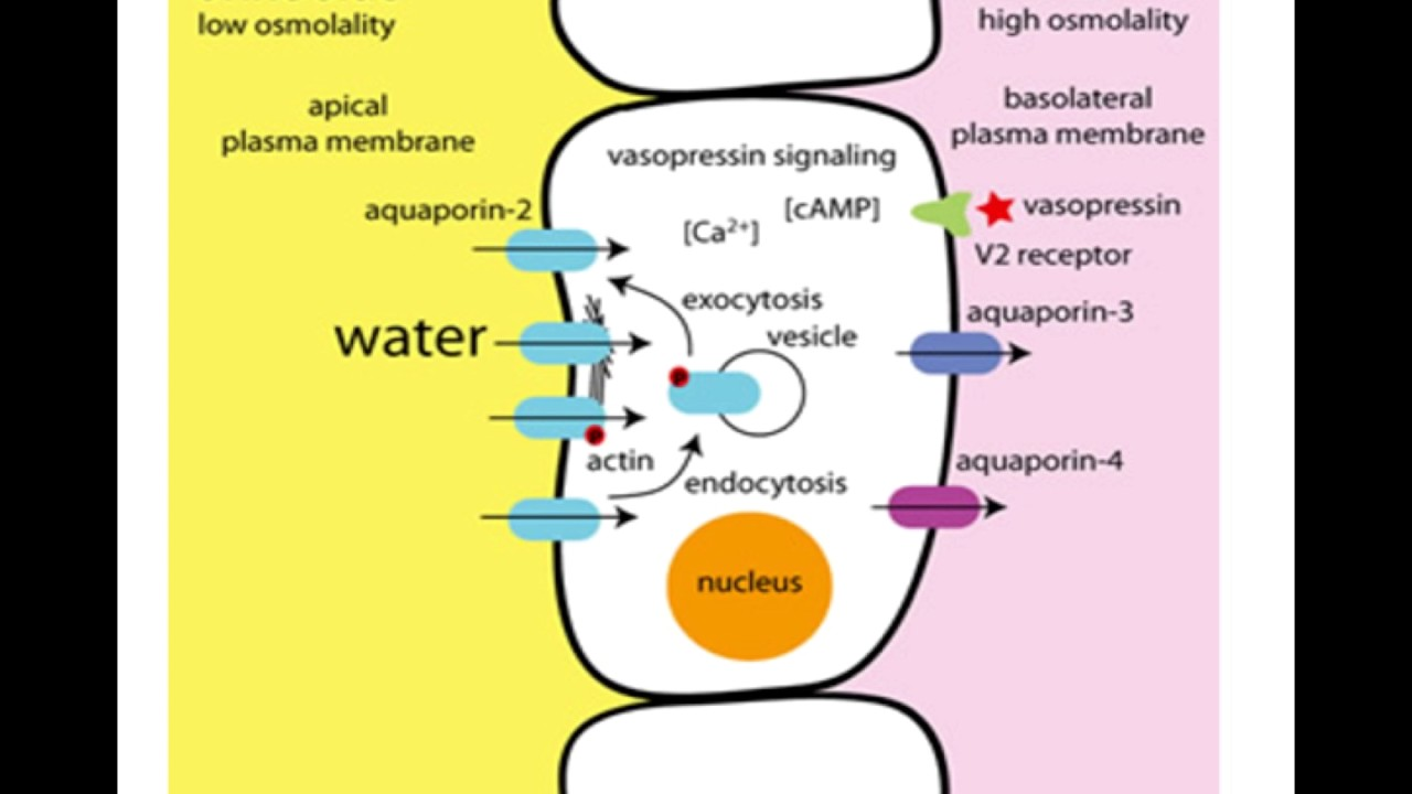 Vasopressin Mechanism Of Action Youtube