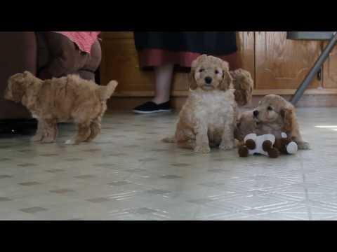 Mini Irish Doodle Puppies For Sale