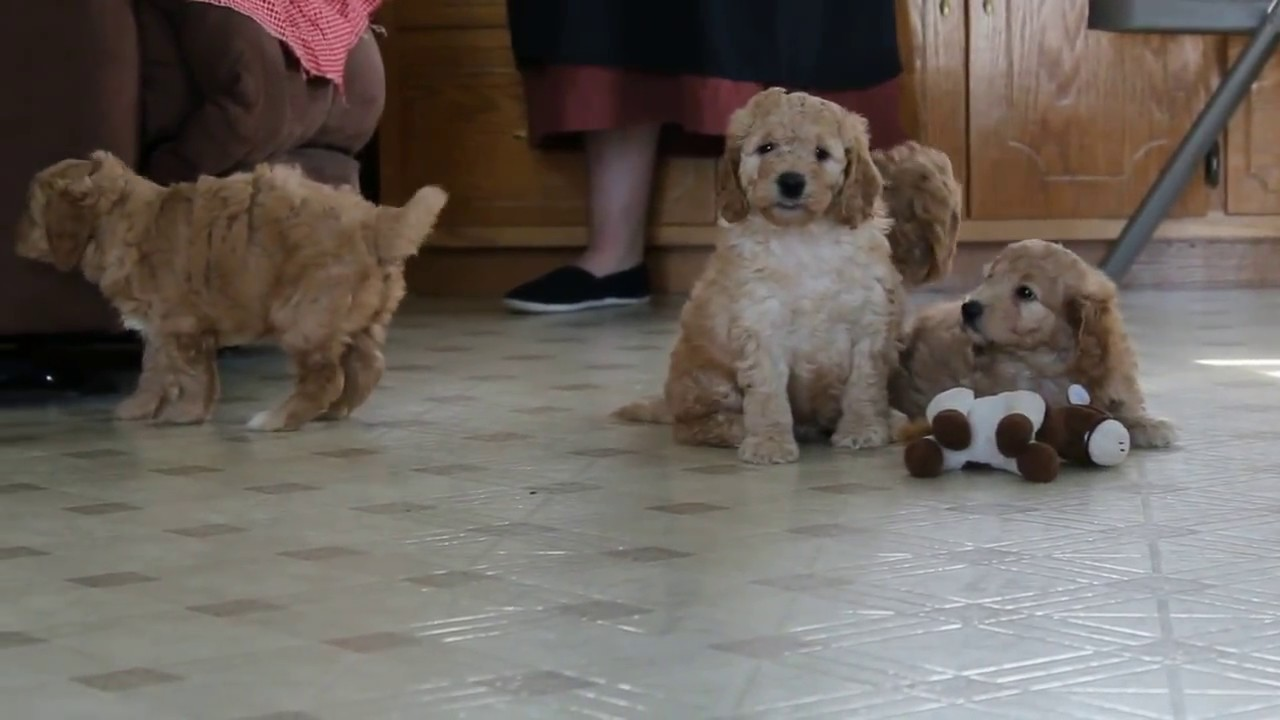 Mini Labradoodle Puppies For Sale In Ireland