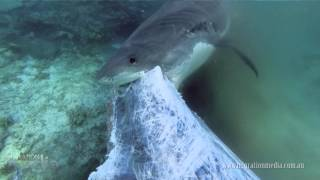 Tiger Shark Feeding Frenzy - The Death of a Humpback Whale