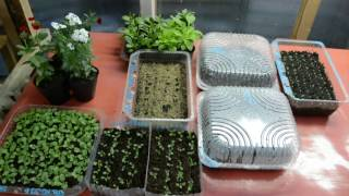 Первые всходы, первый полив и подкормка молодых сеянцев.