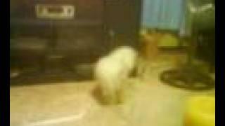 Alaga Kong Si Puti :) 1/2 Shih Tzu 1/2 Poodle