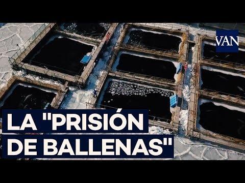 """La lamentable """"prisión de ballenas"""" rusa"""
