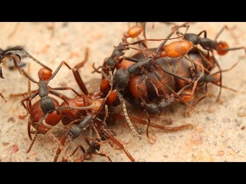 Des fourmis décapitent leur reine - ZAPPING SAUVAGE